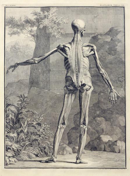 albinus-musculorum-tabula-vii